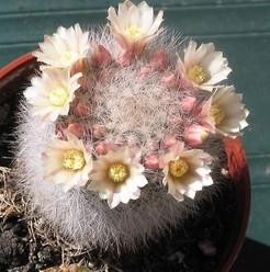 Маммиллярия Шварца, Mammillaria schwarzii