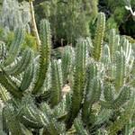 Миртиллокактус — Myrtillocactus cochal