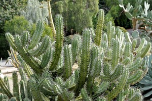 Миртиллокактус, Myrtillocactus cochal