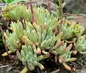 Дудлея Дернистая (Dudleya Caespitosa) - Фотографии    Стебли разветвленные, высотой до 15 см. Листья мясистые, зеленые, с легким восковым налетом, удлиненно-ланцетные, заостренные, длиной 5-15 см. Высота цветоноса до 60 см, цветки желтые.