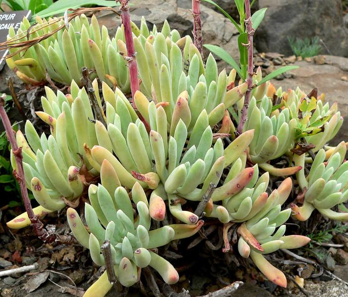 Род Дудлея (Dudleya, семейства Толстянковые) насчитывает около 40 видов растений. Род назван по имени профессора Стэнфордского университета (США) Уильяма Дадли. Дудлеи находятся в близком родстве с эчевериями.