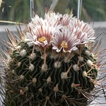 Эхинофоссулокактус фиалкоцветковый — Echinofossulocactus violaciflorus