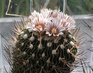 Кактус Эхинофоссулокактус фиалкоцветковый - Echinofossulocactus violaciflorus, описание и фото