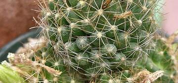 Кактус Эскобария кубинская - Escobaria cubensis, описание и фото