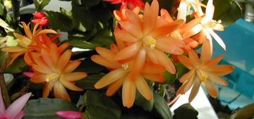 Кактус Hatiora hybrid, описание и фото