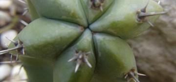 Миртиллокактус геометрический, Myrtillocactus geometricans