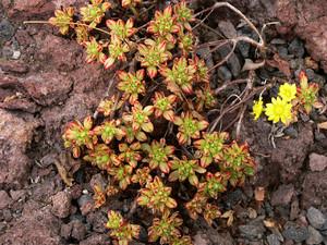 Аихризон очитколистный (Aichryson sedifolium Webb ex Bolle).    Синоним:  Aeonium sedifolium (Webb ex Bolle) J.Pitard & L.Proust Iles Canaries: 193 (1909). Густой суккулентный полукустарник с тонкими прямыми ветвями 15-40 см высотой и 13 см шириной.