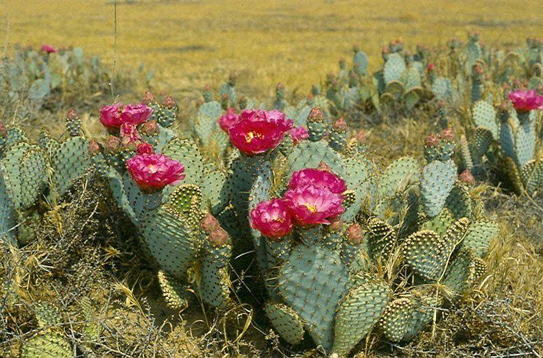 Цветение кактусов в пустыне, редкое и удивительное событие. кактусы пустыни