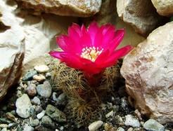 Кактус Сулькоребуция завитая - Sulcorebutia crispata, описание и фото