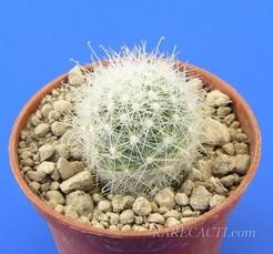 Мамиллопсис Дигье - Mamillopsis diguetii, описание и фото кактуса