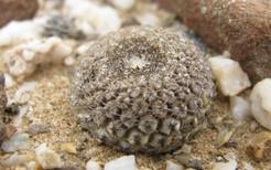 Кактус Эриосице - Eriosyce napina, описание и фото