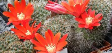 Медиолобивия прекрасноцветущая разн.глазковая, Mediolobivia euanthema v . oculata