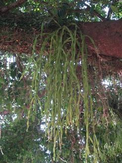 Рипсалис, парадоксальный, Rhipsalis, paradoxa, кактус, фото, описание, уход