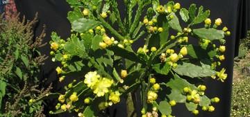 Бразилиопунция бразильская - Brasiliopuntia brasiliensis