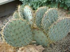 Опунция зеленоватая, Opuntia chlorotica