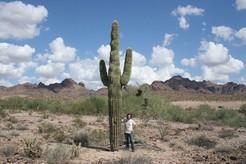 Огромные кактусы в пустыне, большие кактусы на фоне, человек и кактус сравнение, большие кактусы