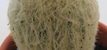 Кактус Эспостоа - Espostoa melanostele, описание и фото