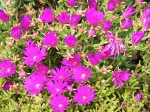 Дрозантемум щетинистый (Drosanthemum hispidum). Род Дрозантемум (Drosanthemum, семейство Аизовые) насчитывает около 100 видов, произрастающих в Южной и Юго-Западной Африке. Дрозантемумы - низкорослые растения с сочными ползучими стеблями.