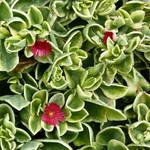 Аптения (Aptenia). Семейство Аизовые