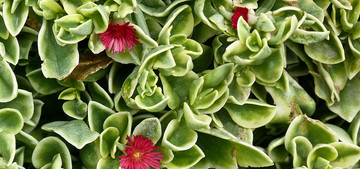 Аптения сердцелистная Aptenia cordifolia Syn. Mesembryanthemum cordifolium
