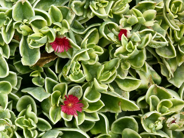 Аптения сердцелистная - Aptenia cordifolia Syn. Mesembryanthemum cordifolium