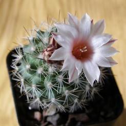 Gymnocactus-saueri