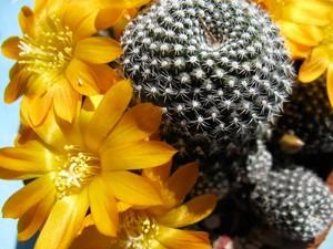 У Ребуции Марсонера (Rebutia marsoneri) стебель в высоту достигает четыре сантиметра, в диаметре до пяти сантиметров. Цветки Ребуции желтые, до четырех сантиметров в длину.
