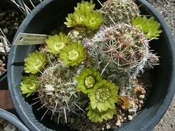 Кактус Эхиноцереус зеленоцветковый - Echinocereus viridiflorus, описание и фото