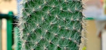 Опунция волосатая, Opuntia pilifera