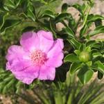 Переския портулаколистная — Pereskia portulacifolia