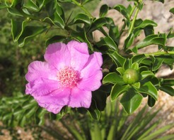 Переския портулаколистная, Pereskia portulacifolia