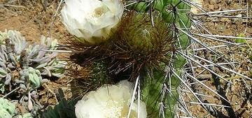 Кактус Эвлихния каштановая - Eulychnia castanea, описание и фото