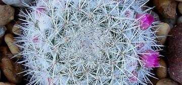 Маммиллярия превосходная, Mammillaria perbella