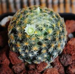 кактус, Маммиллярия Кармен, Mammillaria carmenae