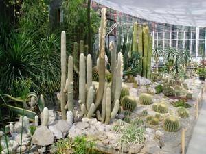 Выращивание кактусов в  оранжерее