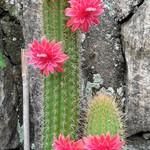 Клейстокактус — Cleistocactus samaipatanus