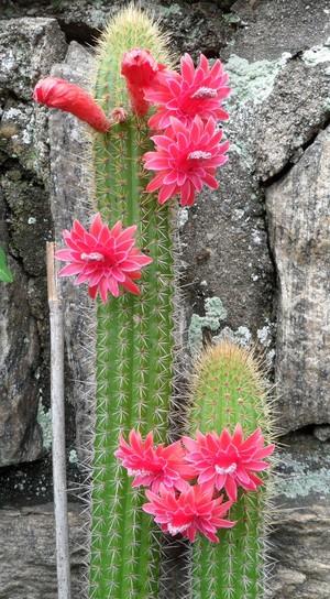 Клейстокактус, Cleistocactus samaipatanus, кактусы