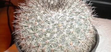 Маммиллярия - Mammillaria sinforosensis subsp marionae