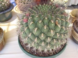 У кактуса Гимнокалициум Сальона (Gymnocalycium saglione) -  одиночный, почти цилиндрический стебель.  Этот кактус растет очень медленно. Цветы бледно-розовато-белые, с красноватым зевом, в диаметре три сантиметра. Плоды красные, шаровидные. фото