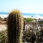 Эхинопсис чилийский прибрежный — Echinopsis chiloensis ssp.littoralis