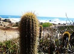 Кактус Эхинопсис чилийский прибрежный - Echinopsis chiloensis ssp.littoralis, описание и фото
