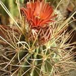 Гландуликактус — Glandulicactus crassihamatus (Web.) Backbg