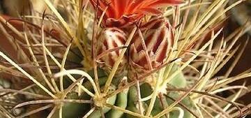 glandulicactus