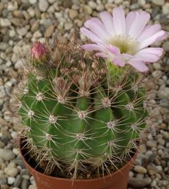 Acanthocalycium-violaceum1