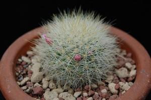 Маммилярия, Mammillaria manana