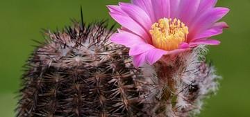 Кактус Эхиноцереус полосатый - Echinocereus adustus, описание и фото