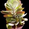 Каланхоэ Метельчатоцветковое (Kalanchoe Thyrsiflora) - фото и описание Густо облиственное растение высотой до 60 см. Листья вытянутые, закругленные, длиной до 15 см, серебристо-зеленые, краснеющие по краю. Цветки мелкие, желтые, собраны в метельчатое соцветие.