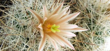 Кактус Эскобария Ллойда - Escobaria lloydii, описание и фото