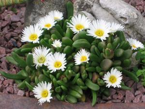 Делосперма Эстеризены (Delosperma Esterhuyseniae)     Бесстебельное растение, которое, разрастаясь, формирует плотные «подушки». Листья ярко-зеленые, мясистые, треугольные в сечении, длиной не более 3 см. Цветки белые, диаметром 2,5 см. Цветение очень обильное и продолжается с июня по август.