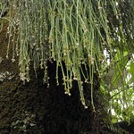 Рипсалис ягодный — Rhipsalis baccifera